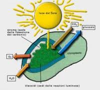 Energia pulita dalla fotosintesi